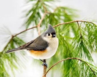 Wildlife Prints, Bird Photography, Fine Art Photography, Tufted Titmouse, Bird Art, Nature Gifts, Pictures of Birds, Winter Bird Prints
