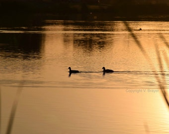 Ducks on a Pond Photo - Sunset, Waterfront