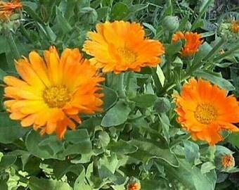 Calendula Officinalis - 100 Seeds - Medicinal Pot Marigold