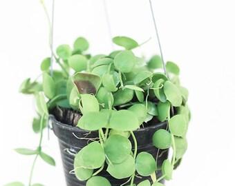"Dischidia imbricata  "" Num Choke "" flowering plant - Joinflower Joinfolia"