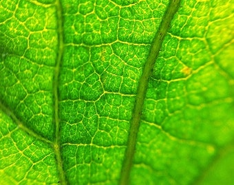 Leaf print, nature photography, leaf picture, green, nature print, macro photography, framed print, framed art, matted print, 5x7, 8x12