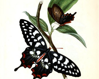 An Epitome of the Natural History of the Insects of India c1800.  Plate 14