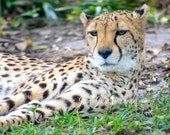 "Nature Photography, Cheetah photograph, Wildlife photo, fine art photograph, Vulnerable Endangered Species, ""Beauty in the Wild"""