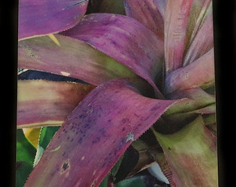 """Photograph of Pink and Lavender Bromeliad Plant - Art Print 5""""x7"""""""