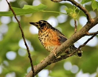 Baby Robin in Tree - Photograph