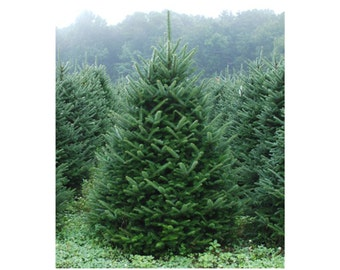 "Fraser Fir, 3 Potted Plants in 2.5"" Pot, Christmas Tree, Dark Green Blue Needles, Coniferous, Evergreen, Fragrant, Accent Tree, Easy Care"
