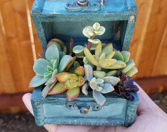 Torquoise wooden treasure box filled with succulents