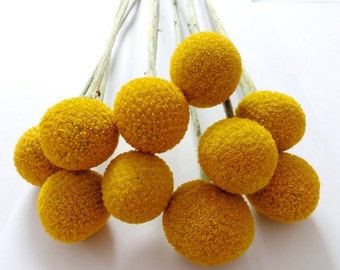 Craspedia  0,1 g (aprox.100) BILLY BUTTONS seeds fresh best before 2018