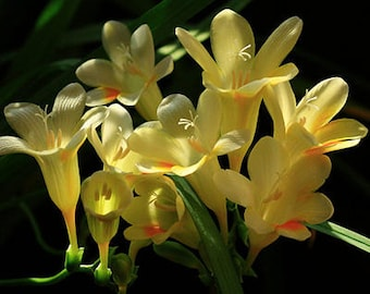 Freesia Hybrida Bulbs Potted Flowers Orchid Potted Plant (it is not seed) 5 Bulbs (Item No: 12)