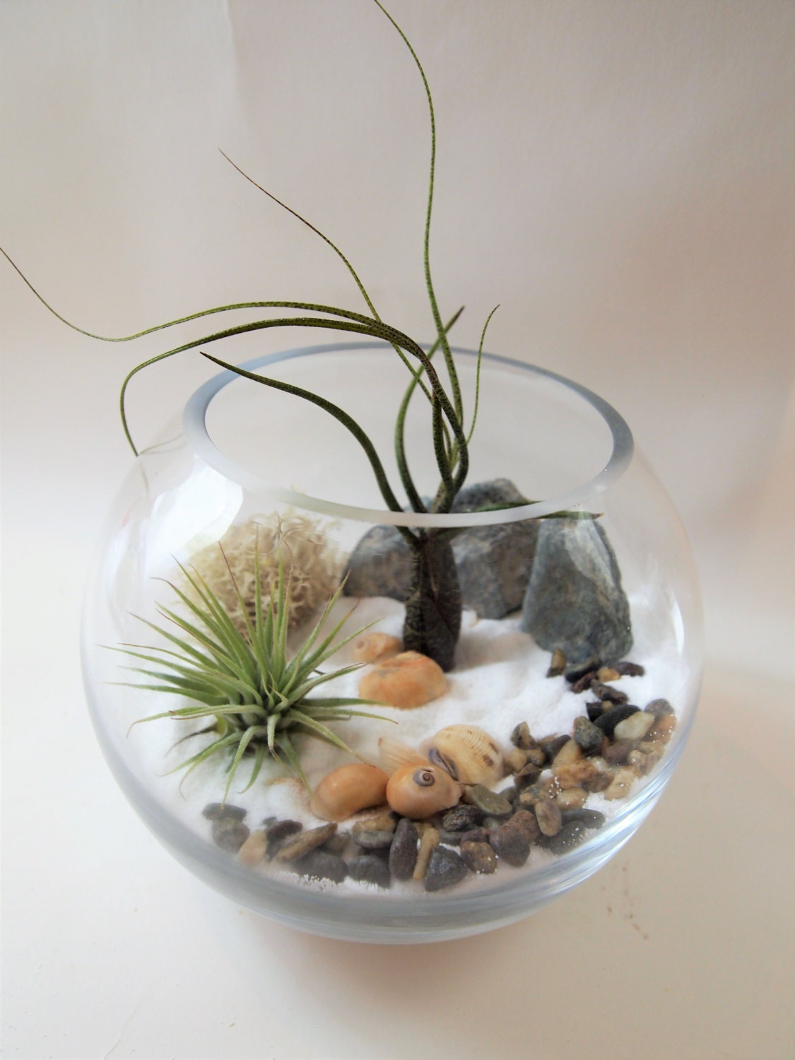 6 glass vase with air plant terrarium kit white by for Air vase
