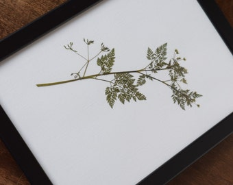 Pressed Wild Carrot Leaf Botanical Print A4 (Frame not included)