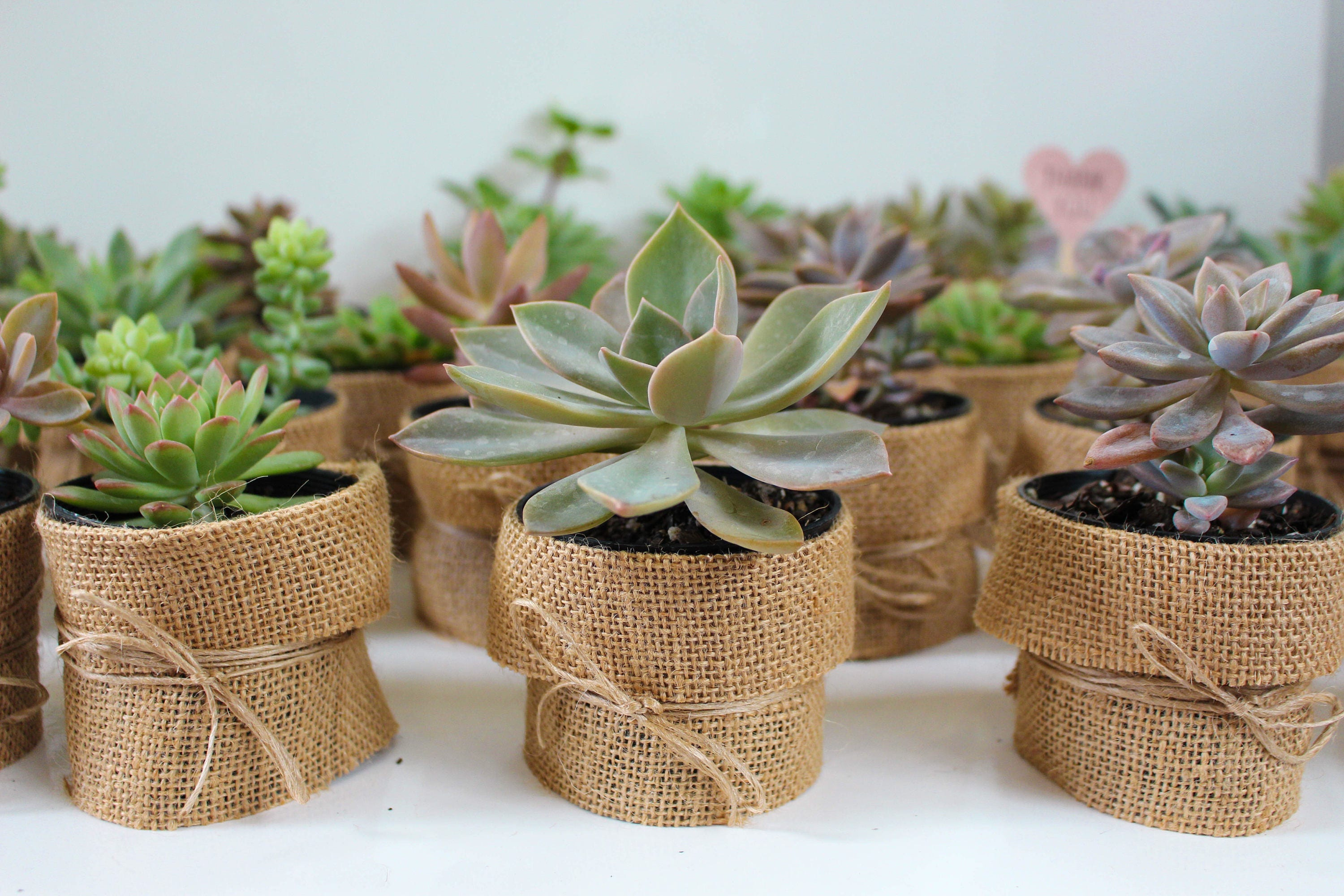 Unusual Wedding Gifts Australia: Wedding Succulent Favour Bomboniere Bohemian Rustic