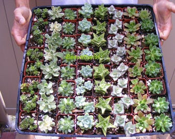 80 Assorted Succulent Plants 2 inch pot !! Great for wedding party favors