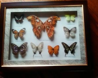 Framed Butterflies, Butterflies