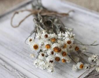 Bunch of 10 Stems of Dried Ammobium, Winged Everlasting, White Flower, Wedding Flower, Corsage Flower