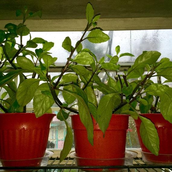 Organic Gynura Procumbens similar to Ashitaba