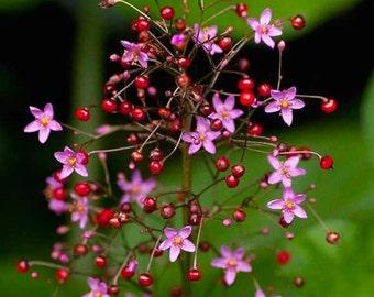Talinum paniculatum Jewels of Opar Pink Flower Plant Edible Succulent 100 Seeds #1117