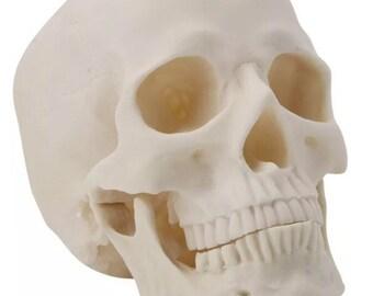 Resin cast skull (large) - life like - Any colour (custom design available)