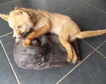 French taxidermy baby Fox cub