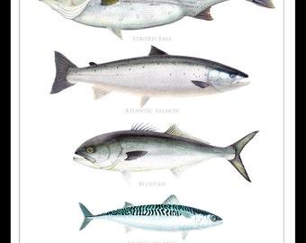 Coastal Gamefish of the Gulf of Maine Poster