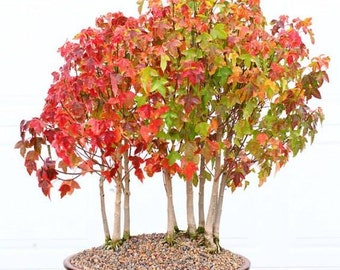 25 Acer Ginnala Amur Maple Seeds - EXCELLENT for BONSAI - Combine Shipping!