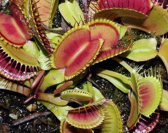 10 VENUS FLYTRAP Dionaea Muscipula CARNIVOROUS Flower Fly Trap Seeds