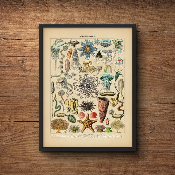 coastal art print coral jellyfish scientific illustration vintage art coastal prints