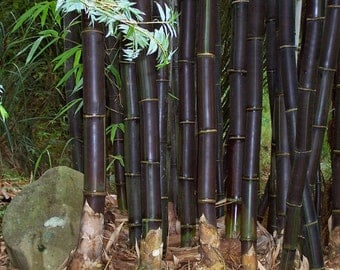 100+ Black Phyllostachys Nigra High Quality & Germination Bamboo Seeds.   USA SELLER!