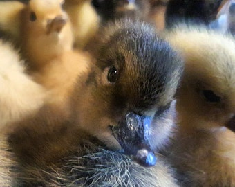 PARANATURAL TAXIDERMY DUCKLINGS