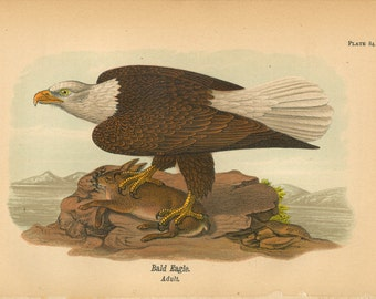 1890 American Bald Eagle Bird Digital Print Download