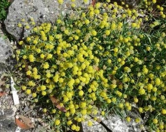 100 GREEN GOLD BUPLEURUM ( Hares Ear / Thorow Wax ) Bupleurum Griffithii Flower Seeds