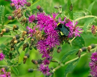 Bumble Bee on Purple Wildflowers Photograph
