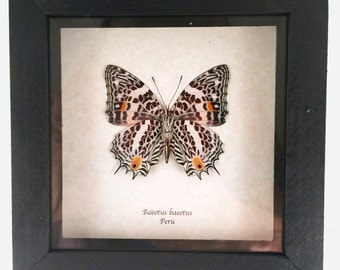 Real butterfly framed - Baeotus baeotus