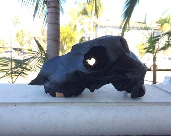Black lamb skull