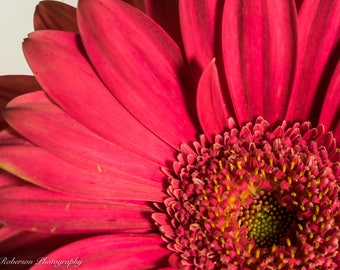 Gerbera Daisy Flower Wall Art Print -- Fine Art landscape photography, Close Up, Pink, Home Decor, HeatherRobersonPhoto