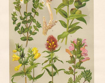 Vintage lithograph of common toothwort, yellow rattle, marsh lousewort, field cow-wheat, cow-wheat, eyewort from 1911