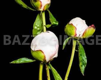 Stock Photography, Peony, Flowers, Flower Photography, Flower Stock,Scrapbooking, Royalty Free, Stock Photo, Background Image, Digital Image
