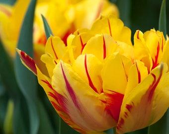 Beautiful tulip-8