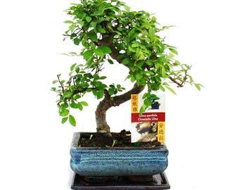 GardenersDream Bonsai Elm Parvifolia S Style 7 years Old Garden Plant Pot  - 1 tree
