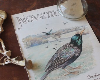 Charming Vintage Watercolor Art, Starling,  Print, Edwardian Era Nature Drawing, November Month of March Winter Fall Autumn Birthday
