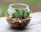 Terrarium fishbowl in miniature-Tiny sedum planter-Sedum Lydium-Sedum blue carpet