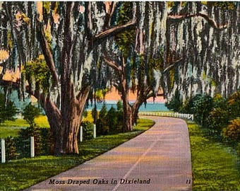Vintage Old South Postcard - Moss Draped Oaks (Unused)