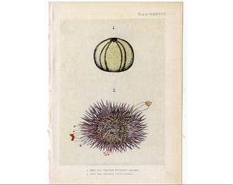 1907 SEA URCHIN the sea shore original antique sea life ocean print