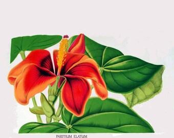 antique french botanical print hibiscus flower paritium elatum illustration digital download