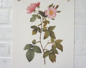 Redoutes Roses Book Page Plate Botanical Wall Art Pink Rosa Rubifolia Rose
