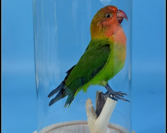 Mature ,taxidermy of parrot color birds  mounted in glass dome Free shipping ,cool gift A#