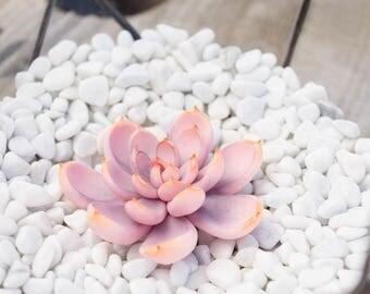Pink Succulent Fairy Garden Supplier Glass Terrarium Polymer Clay Succulent Home House Decor Decoration Modern Minimalist Style Housewarming