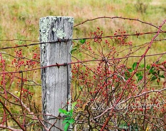 Rose Hips Art Print, Large Wall Art, Fence Post, Wild Rose Hip, Farmhouse Decor, Rustic, Flower Wall Art, Botanical photo, Nature photo