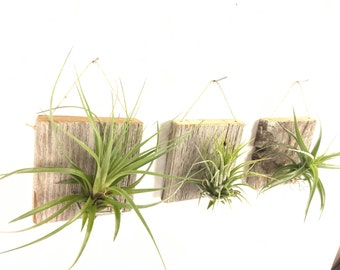 Set of Three SMALL FORM Air Plant and Barn Wood Grab Bag airplants