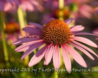 "Purple Coneflower, Echinacea Plant, Wildflowers, Photo - Photograph, Gift For Her, Photography, Flower - Purple Coneflower - 12"" x 8"""